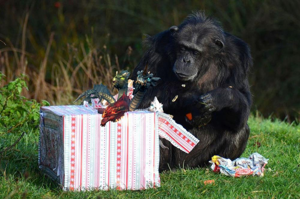 A-Chimpanzee-opens-its-Christmas-presents-at-ZSL-Whipsnade-Zoo-MAIN_zps5d132e1e.jpg